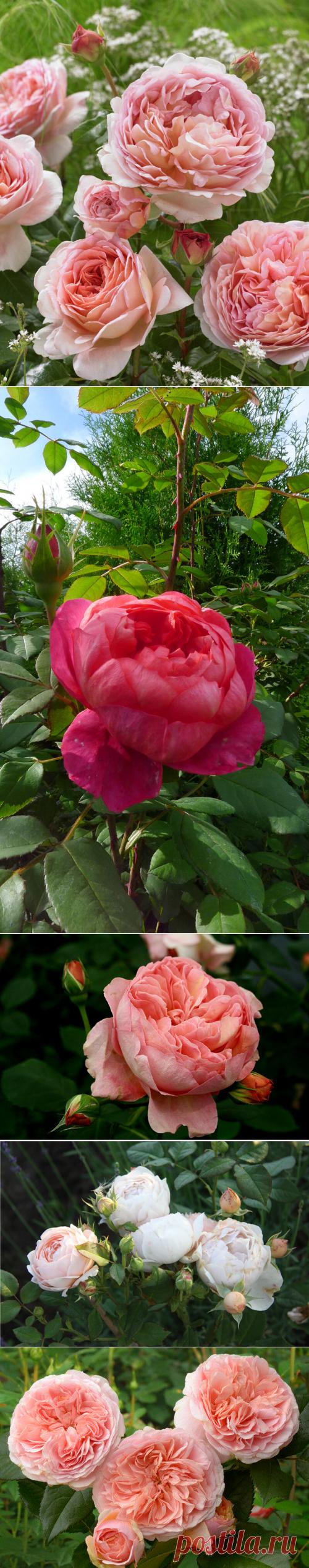Зимостойкие сорта роз Дэвида Остина | Флористика наизнанку | Яндекс Дзен