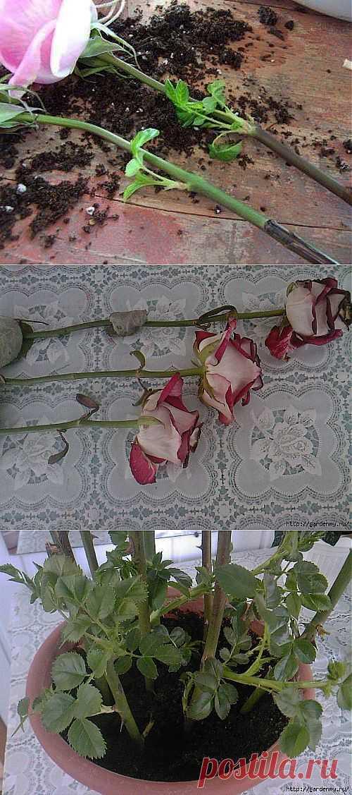 """Палю тему! """"Тройчатка"""" для проращивания роз."""