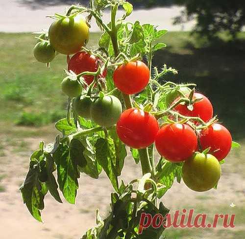 Энциклопедия технологий: тайны выращивания помидор  При посадке и выращивании помидор следует соблюдать четыре основных правила:   1. Сажайте помидоры там, где они смогут получать максимум солнечного света. 2. Давайте каждому кусту еженедельно от 25 д…
