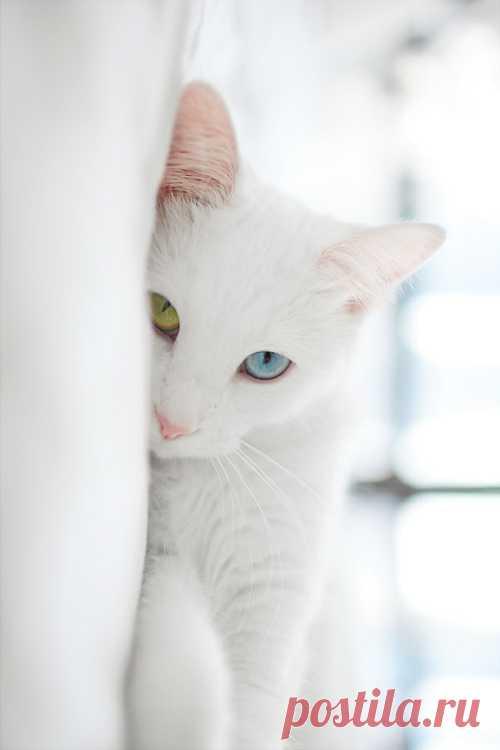 El gato de ostentación blanco con los ojos del color diferente