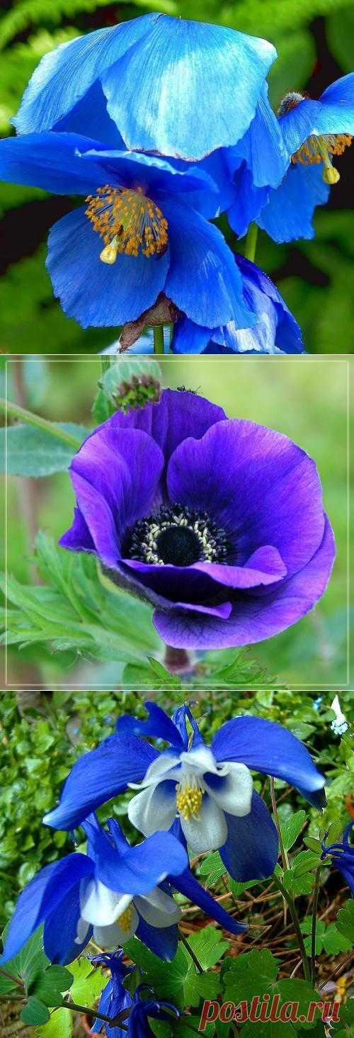 Синие цветы - Меканопсис, Анемон, Аквилегия