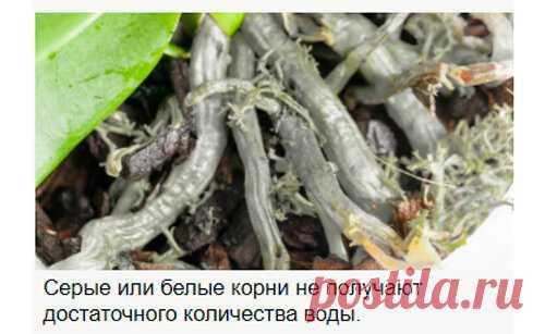 Как по цвету корней определить, необходимо ли Орхидею поливать   Я люблю цветы   Яндекс Дзен