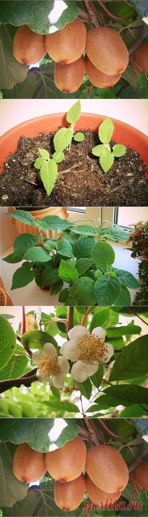 Выращиваем киви дома....