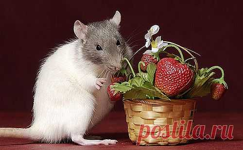 Чем кормить декоративную крысу?   Грызунчик