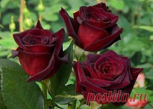 Уход за розами    Розы первого года посадки  Если вы посадили розы весной, соблюдая все рекомендации, а земля под саженцем влажная и рыхлая, то удобрять молодое растение не надо. Если дневные и ночные температуры воздуха высоки, а молодой саженец не растет даже через 20 дней после посадки, стоит его подкормить слабым настоем коровяка, и через неделю повторить подкормку, добавив мочевины (1 ч.л. на 10 л настоя). Настой коровяка готовят так: 1 часть навоза разводят в 3 частя...