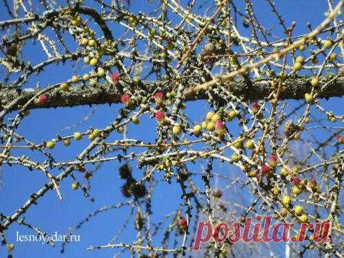 Весна вступила в фазу оживления. Все больше цветущих растений в лесу. Цветут мать-и-мачеха, медуница, хохлатка. Цветет ольха. Зацветают ивы. На лиственнице сибирской появились молодые шишки (желтоватые - мужские, малиновые - женские)