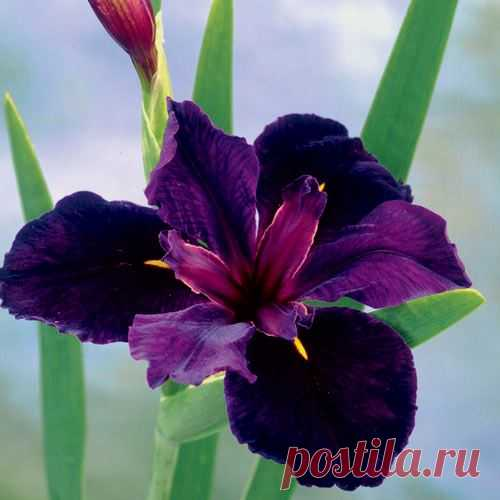 Iris 'Black Gamecock' from Jackson & Perkins