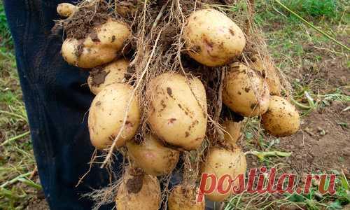 Картошка растет как бешеная, прет по ведру с куста! Перед посадкой посыпаю