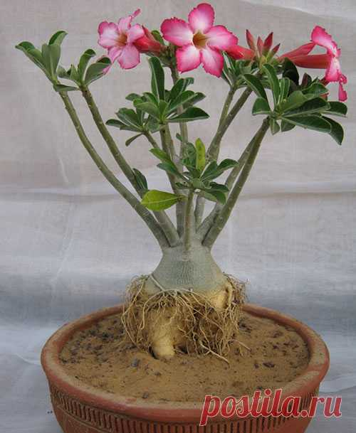 Уход за розой пустыни адениумом в домашних условиях