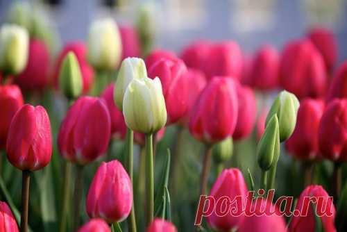 tulips y tulip imagen en We Heart It