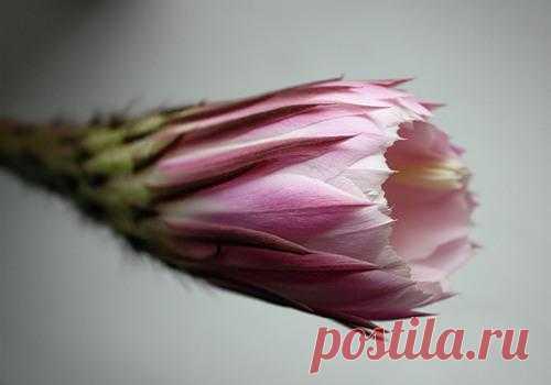 Как сохранить цветок кактуса?