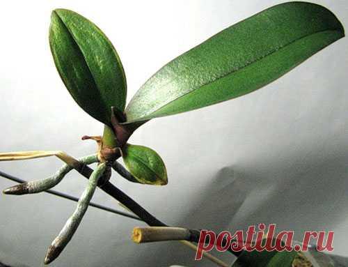 орхидея фаленопсис детка на цветоносе фаленопсиса фото