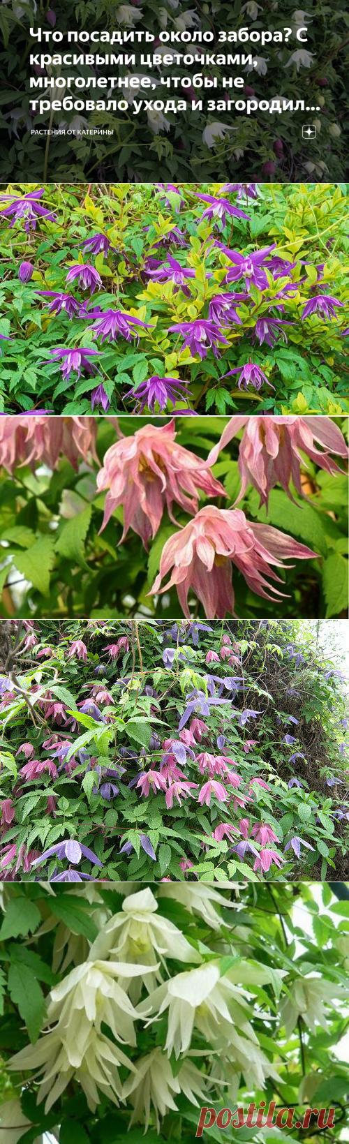 Что посадить около забора? С красивыми цветочками, многолетнее, чтобы не требовало ухода и загородило от соседей?   Растения от Катерины   Яндекс Дзен