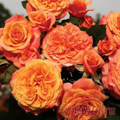 Crazy Love Grandiflora Rose at Jackson and Perkins