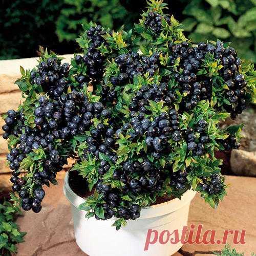 Черника садовая Топ Хат (8440): купить саженцы в интернет магазине Беккер в России