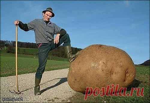 Три главных правила хорошего урожая картошки.
