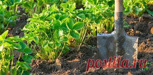 Подготовка грядки под клубнику летом (в августе) - Дачные советы.ру