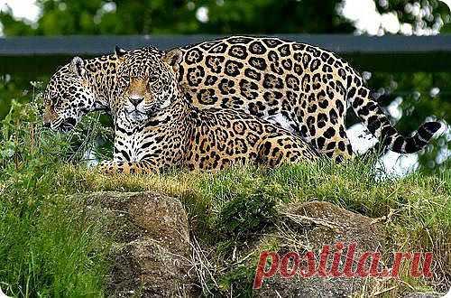 Как мама входила в клетку с леопардом - Bсе для людей!