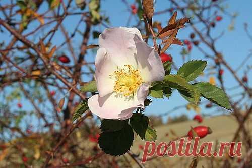 Rosa canina, proprietà e uso - Cure-Naturali.it