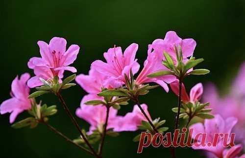 6 правил выращивания рододендрона в открытом грунте