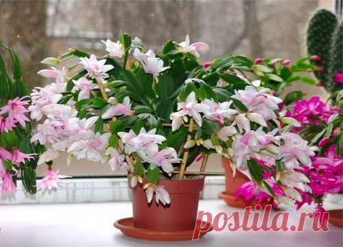 Декабрист цветок уход в домашних условиях — размножение