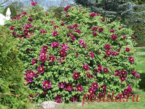 Древовидный пион – посадка и уход. Размножение | Растим растения!