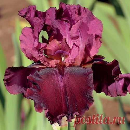 Iris 'Medici Prince' at Jackson & Perkins