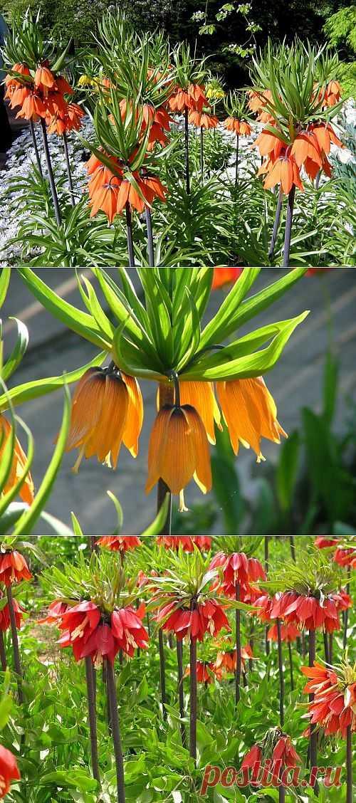 Почему не цветут рябчики. Цветы рябчиков (любых его сортов, но в особенности императорского) привлекают своей необычайной красотой и неповторимостью, однако многие садоводы сталкиваются с вопросом: почему не цветут рябчики, что тому виной – неправильный уход, климатические условия или что-то ещё?