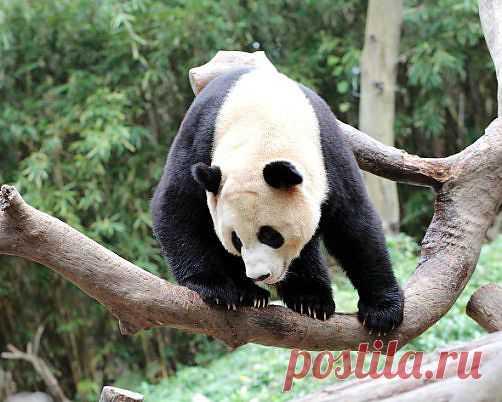 Заповедник больших панд в Сычуани. » Красота Жизни