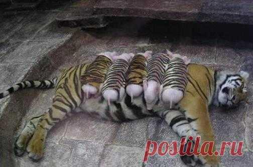 Тигр + Лев = Лигреныш, а Тигр + Поросенок - это кто? ))