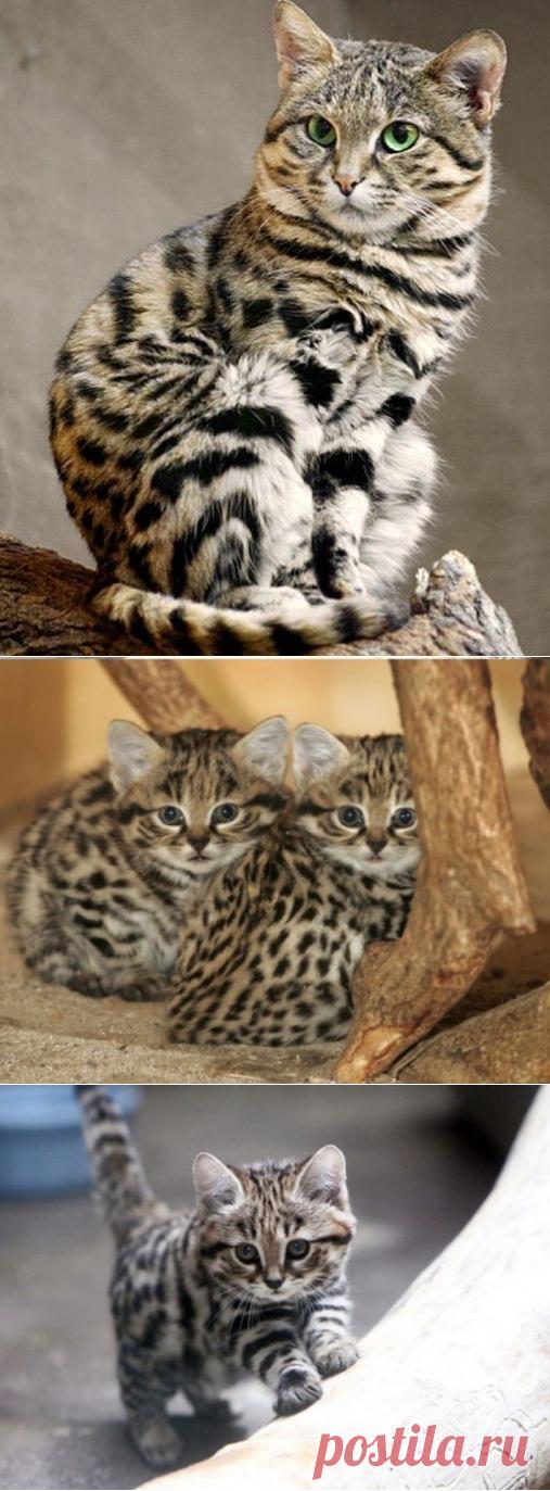 Африканский дикий кот -