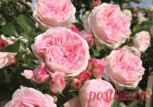 Как ухаживать за розами, чтобы они пышно цвели до первых морозов