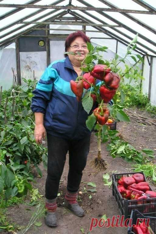 фото грядок помидоров перцев того, разобранном виде