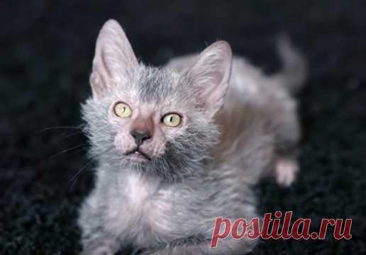 Ликой - кошка оборотень, фото, цена, история породы, особенности содержания и ухода, плюсы и минусы