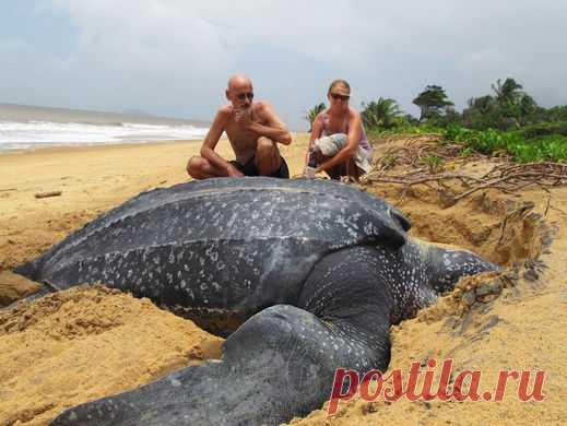 Гигантская черепаха приплыла, чтобы отложить яйца на пляже.