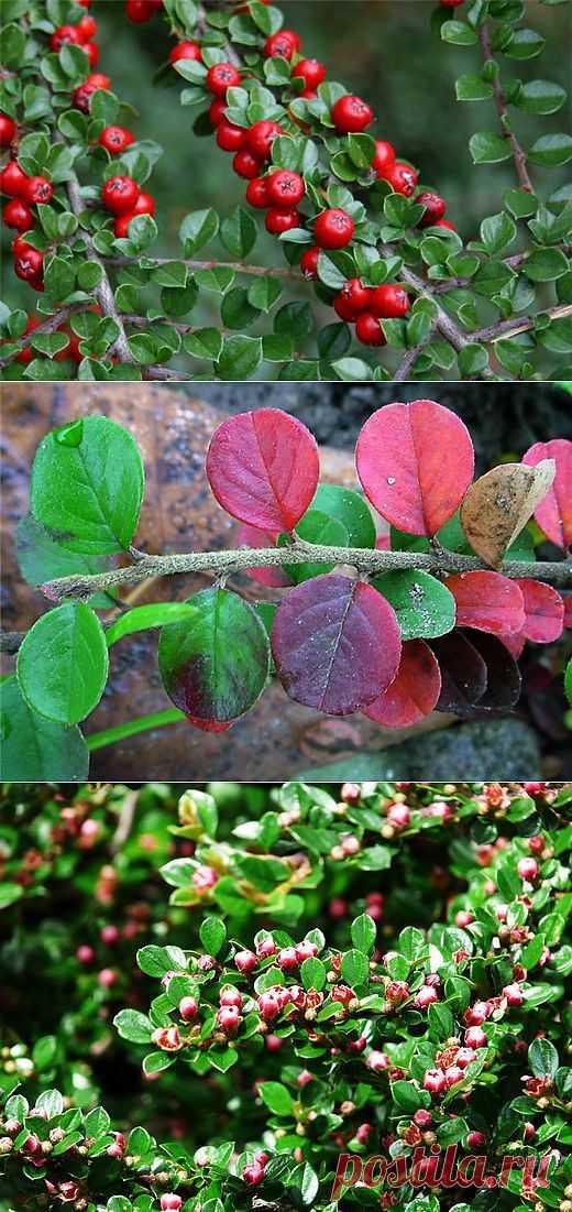 Кизильник - украшение вашего сада. Многие виды кизильника отличаются декоративной красотой. О пользе этого неприхотливого растения расскажет наша статья.