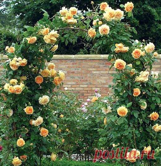 ПЛЕТИСТАЯ РОЗА ПРАВИЛЬНЫЙ УХОД Сохраните, чтобы не потерять! Вы покупали розы, правильно высаживали их, обрезали, ставили для них опору, но роза цвела только на верхушке куста.  Никакой восхитительной стены из роз не было? Что вы сделали не так? в чем секрет правильного ухода за плетистой розой? Ничего страшного не произошло: вы просто неправильно сформировали и закрепили розу на шпалере. У плетистой розы есть один маленький секрет — чем больше ее стеблей находятся в гориз...