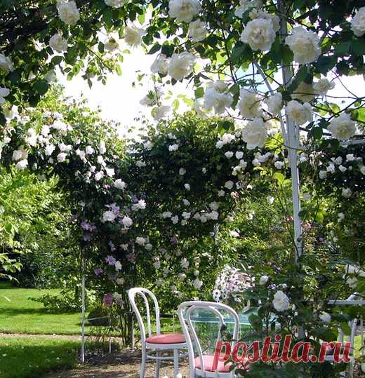 La rosa pletistaya la partida correcta: 35 arcos de jardín de las rosas