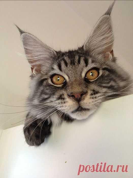 Hindi's photo (Cat - Maine coon) : Il est la le petit curieux !! Yummypets : Social network for Cat