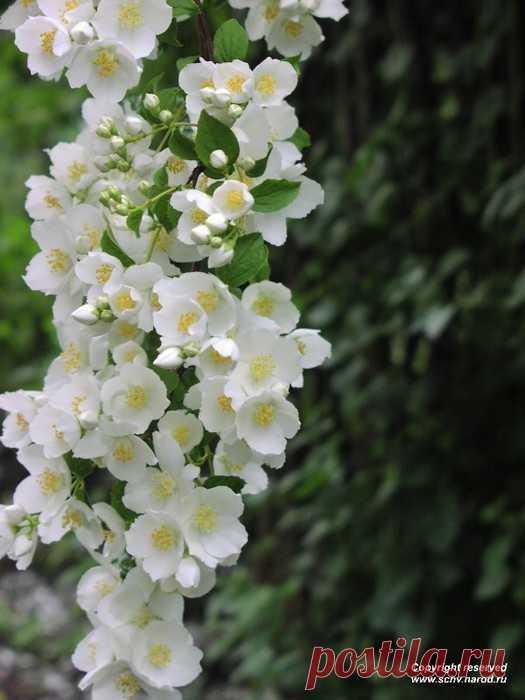 Цвет жасмина