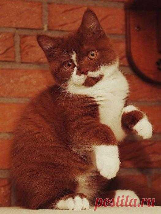 Я шоколадный котик, сливочно-нарядный