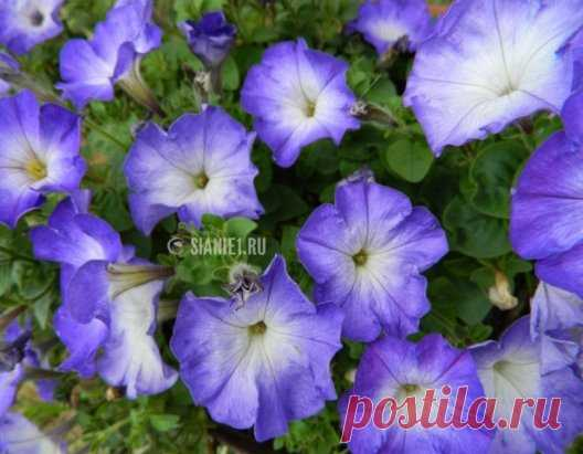 CULTIVATION OF THE PETUNIA