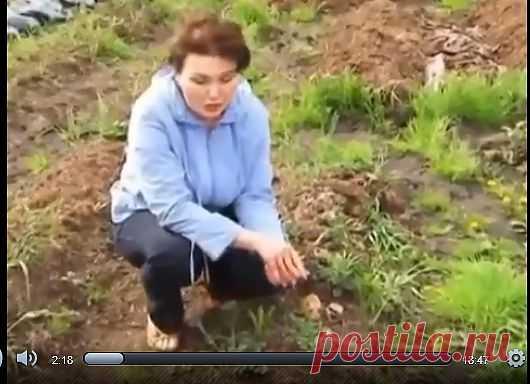 Выращивание картофеля в соломе.