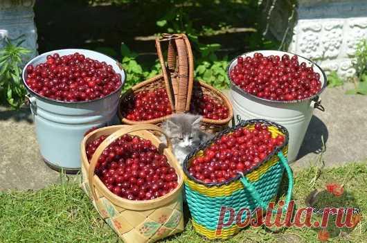 Эти подкормки многократно увеличат урожай вишни! Подкормка весной — зола, ...