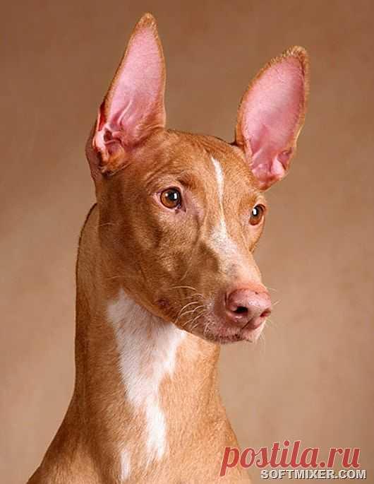 Собака фараонов...Живое воплощение Анубиса.