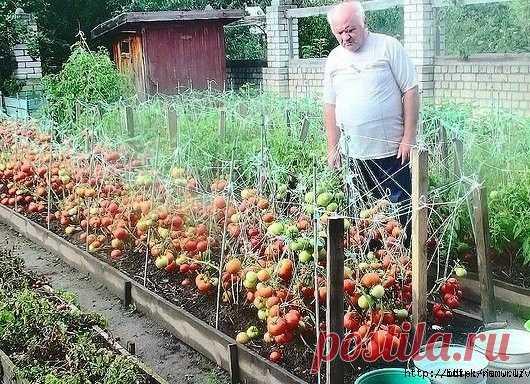 Gallery.ru / Дедовский рецепт выращивания томатов -