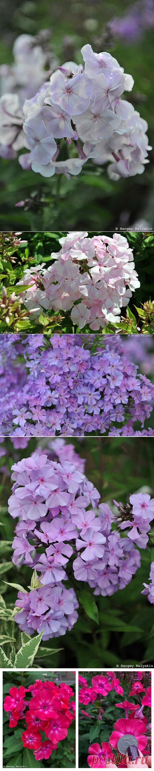 Еще 10 красивых флоксов для вашего сада | Сады и цветы | Яндекс Дзен