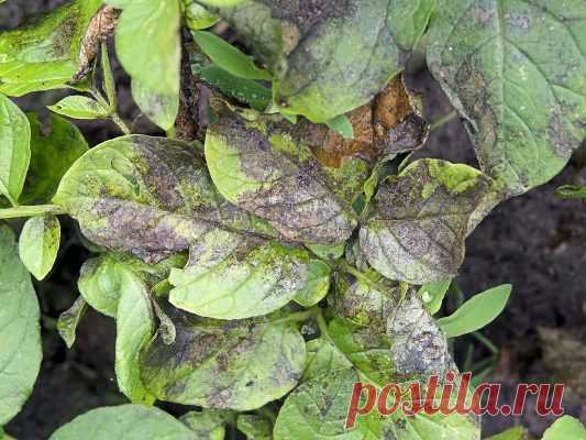 Фурацилин от фитофторы на помидорах: отзывы, как обработать, как использовать, как опрыскивать