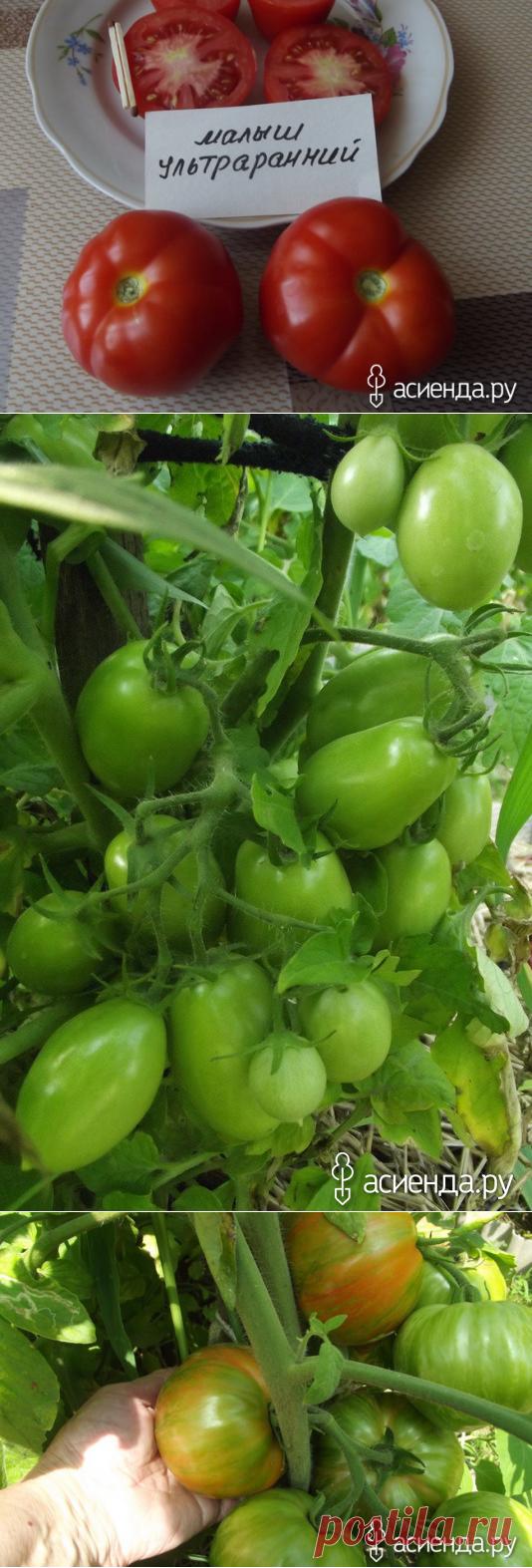 Оценка ранним сортам помидор. Ультраранний Малыш. Челнок.: Группа Органическое земледелие