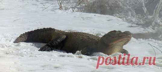 Рептилий не часто увидишь нежащимися на снегу – даже владельцам фермы аллигаторов потребовалось несколько лет, чтобы их питомцы позволили запечатлеть себя среди сугробов.